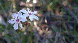 Image of <i>Burchardia umbellata</i> R. Br.