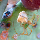 Image of lynx spiders