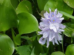 Image of common water-hyacinth