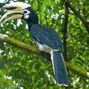 Image of Oriental pied hornbill