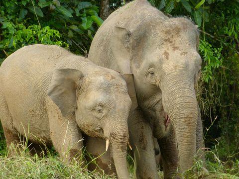 Image of Borneo elephant