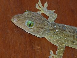 Image of Large Forest Gecko