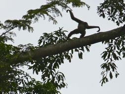 Image of northern Müller's Bornean gibbon