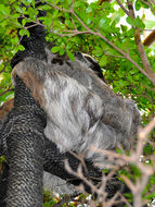 Image of Bolivian Three-toed Sloth
