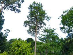 Image of <i>Dipterocarpus caudiferus</i> Merr.