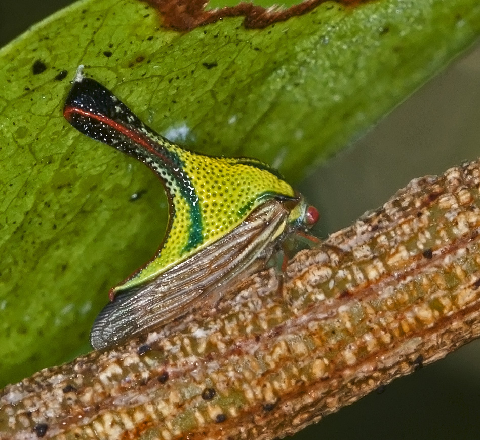 Image of Thorn Treehopper