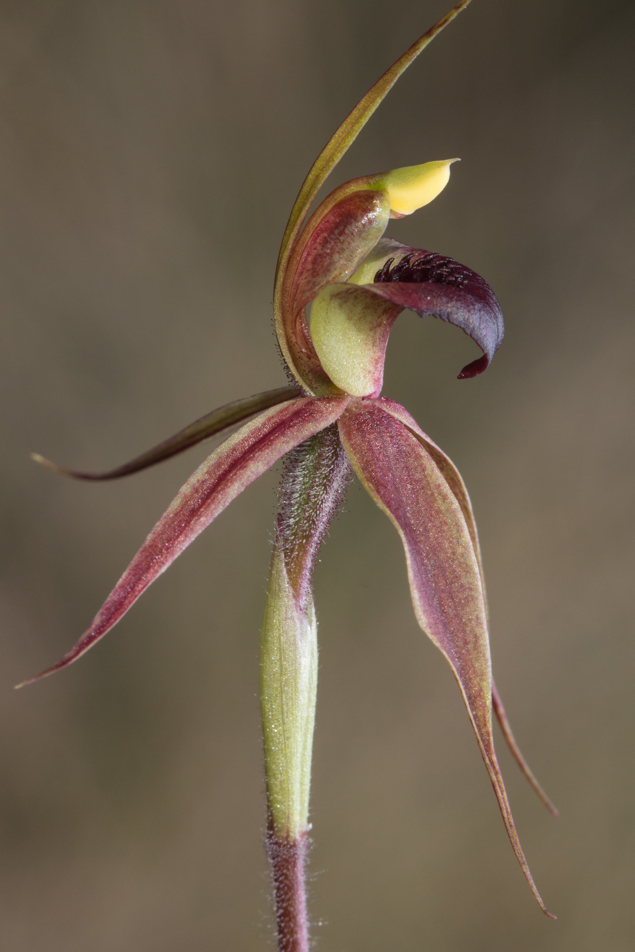 Image of Plain-lip spider orchid