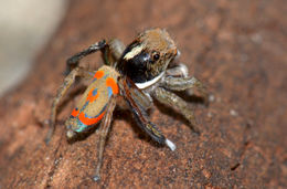 Image of Peacock spider