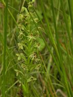 Image of Waterspider bog orchid