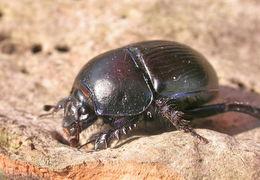 Image of Dor beetle