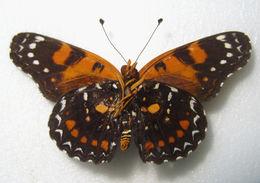 Image of <i>Atlantea perezi</i> Herrich-Schäffer 1862