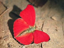 Image of <i>Cymothoe hobarti</i>