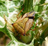 Image of <i>Carpocoris mediterraneus</i>