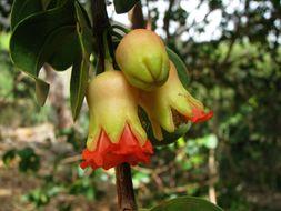 Image of Pomegranate Tree