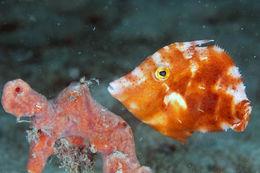 Image of Fringed Filefish