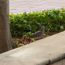 Image of Eastern Spotted Dove
