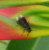 Image of <i>Parachartergus fraternus</i> (Gribodo 1891)