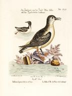Image of Manx shearwater