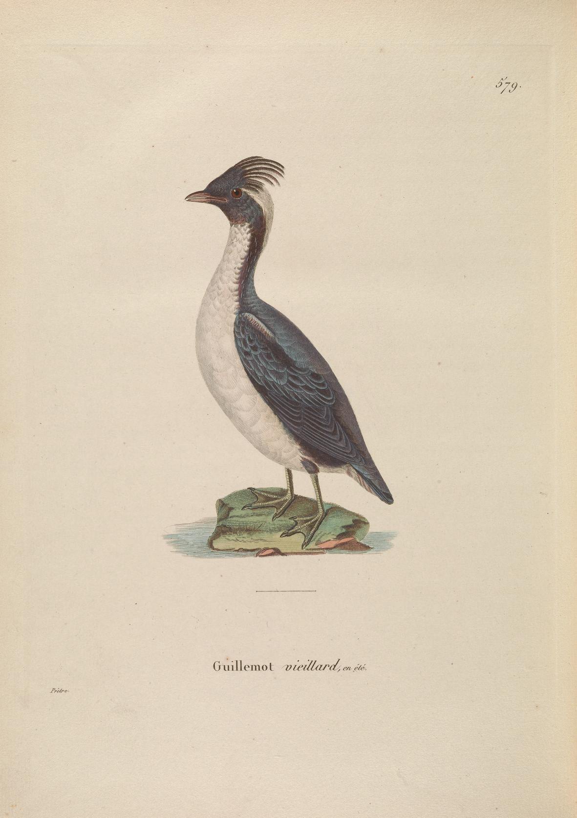 Image of Crested Murrelet