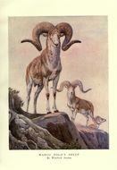 Image of <i>Ovis ammon polii</i> Blyth 1840