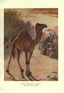 Image of Dromedary