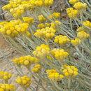 Image of <i>Helichrysum <i>stoechas</i></i> ssp. stoechas