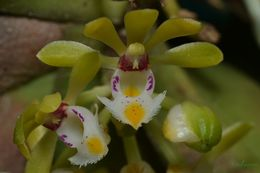Image of <i>Gastrochilus obliquus</i> (Lindl.) Kuntze
