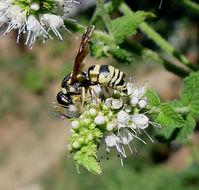 Image of <i>Strepsiptera species</i>