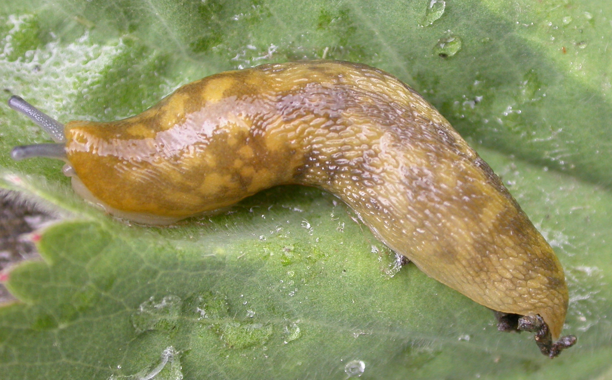 Image of <i>Limacus maculatus</i> (Kaleniczenko 1851)