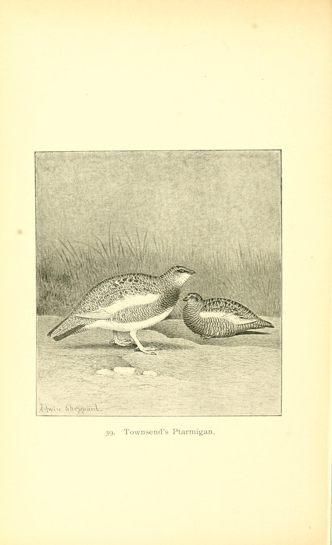Image of <i>Lagopus muta townsendi</i> Elliot & DG 1896
