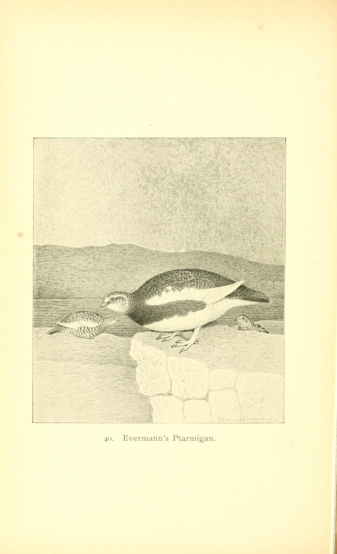 Image of <i>Lagopus muta evermanni</i> Elliot & DG 1896