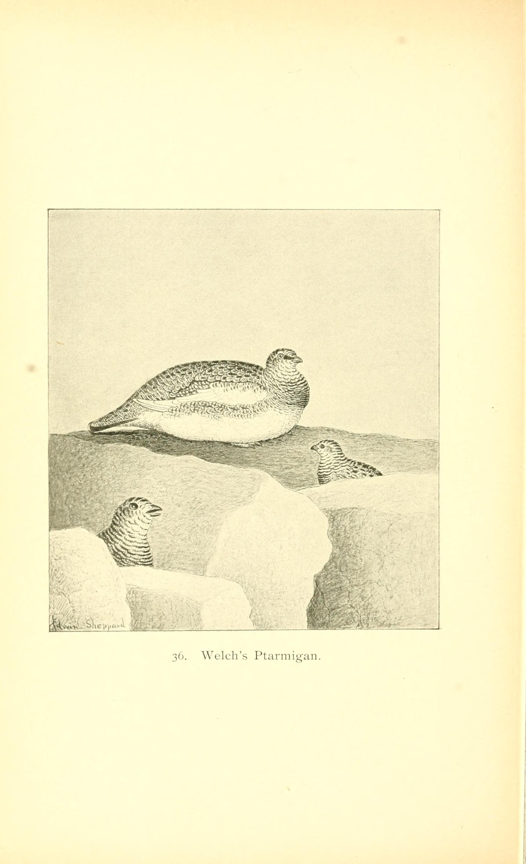 Image of <i>Lagopus muta welchi</i> Brewster 1885