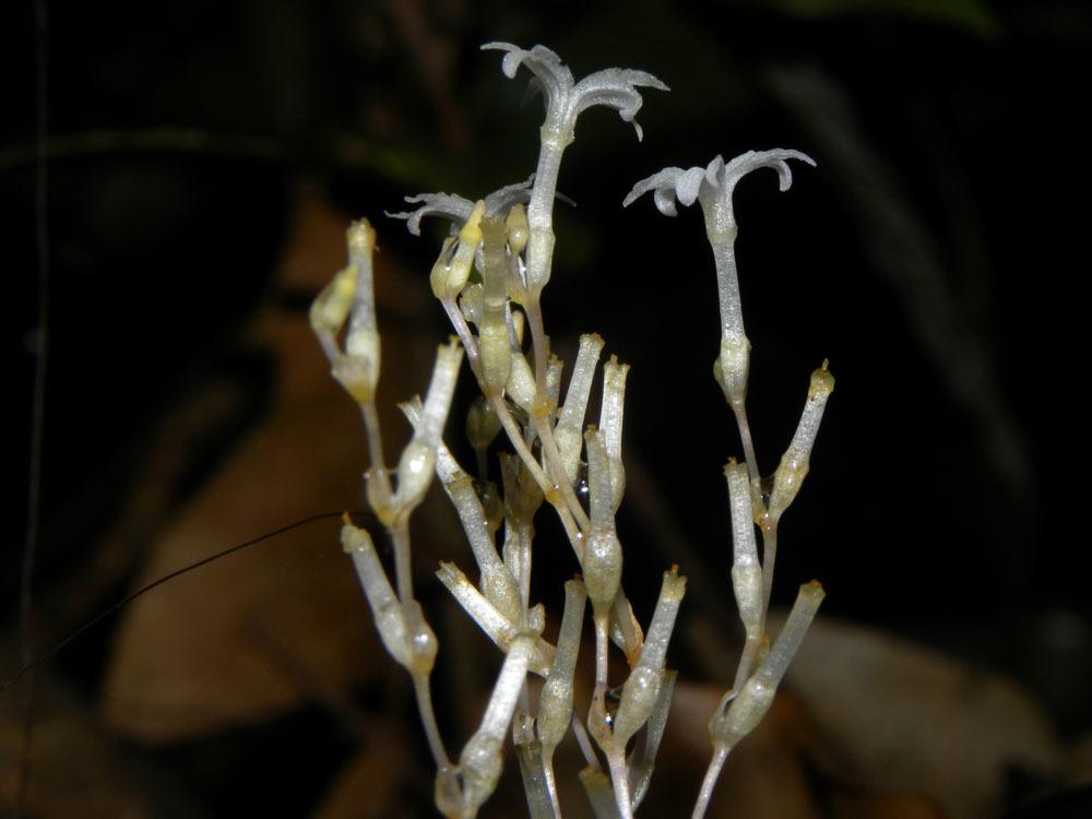 Image of <i>Gymnosiphon panamensis</i> Jonker