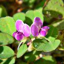 Image of threeflower ticktrefoil