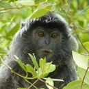 Image of Silvered Langur