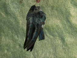 Image of Glossy Swiftlet