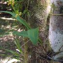 Image of <i>Polystachya masayensis</i> Rchb. fil.