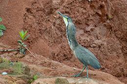 Image of Fasciated Tiger-Heron