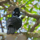 Image of Amazonian umbrellabird
