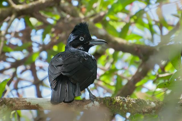 Image of Amazonian umbrellabird