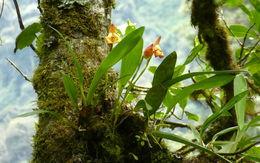 Image of <i>Maxillaria molitor</i> Rchb. fil.