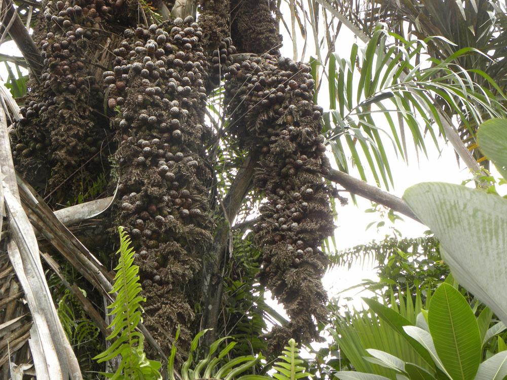 Image of Yolillo Palm