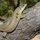 Image of Siirt Lizard