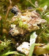 Image of <i>Mucilago crustacea</i>