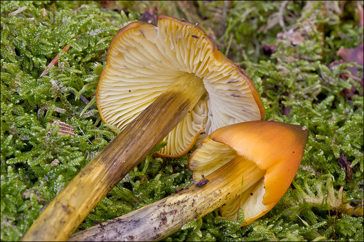 Image of Conical slimy cap