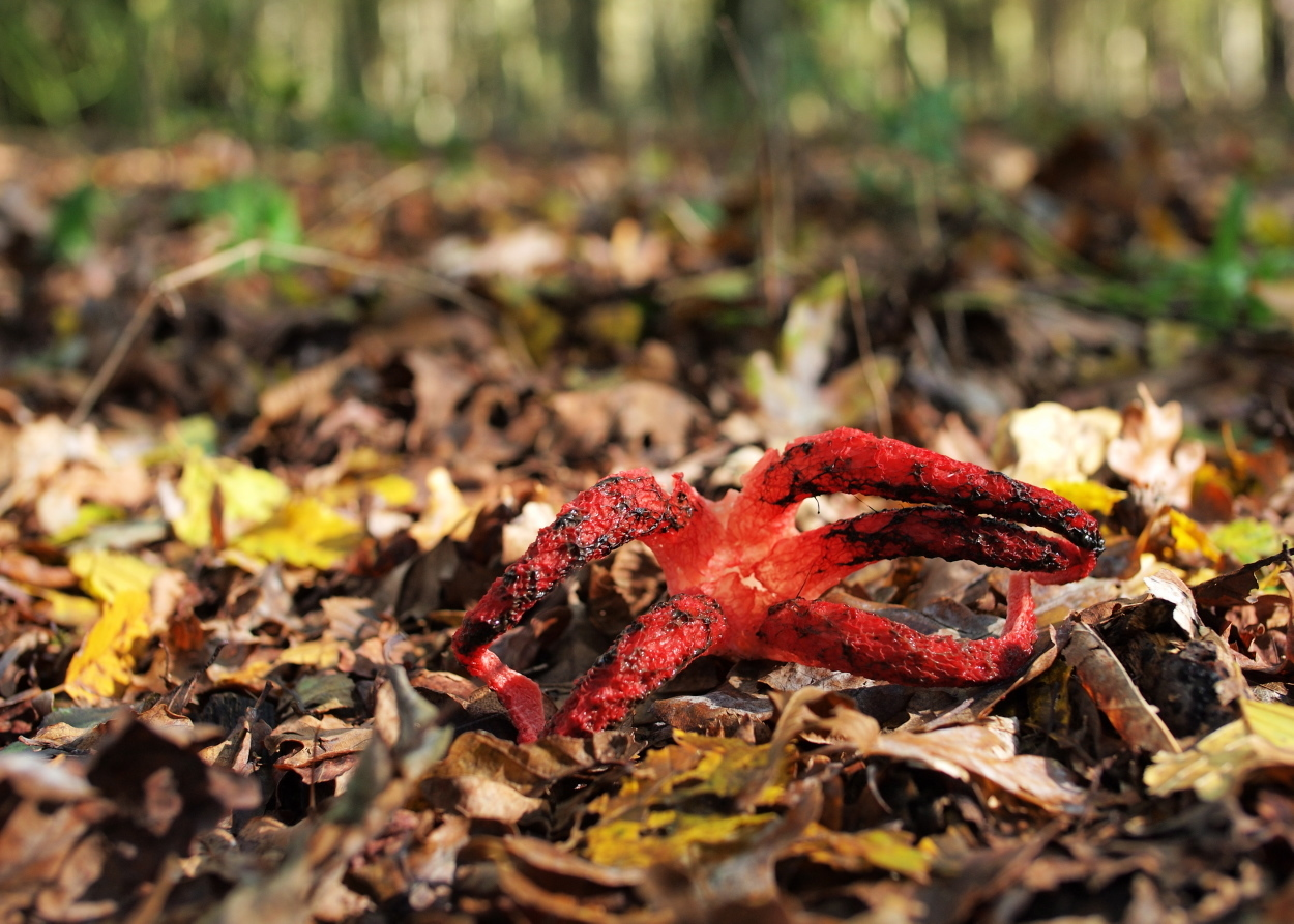 Image of octopus stinkhorn