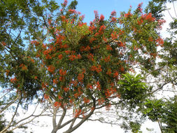 Image of <i>Psittacanthus rhynchanthus</i> (Benth.) J. Kuijt