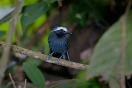 Image of White-browed Antbird