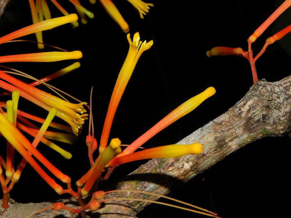 Image of <i>Psittacanthus corynocephalus</i> Eichl.