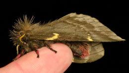 Image of <i>Paradirphia andicola</i> Lemaire 2002